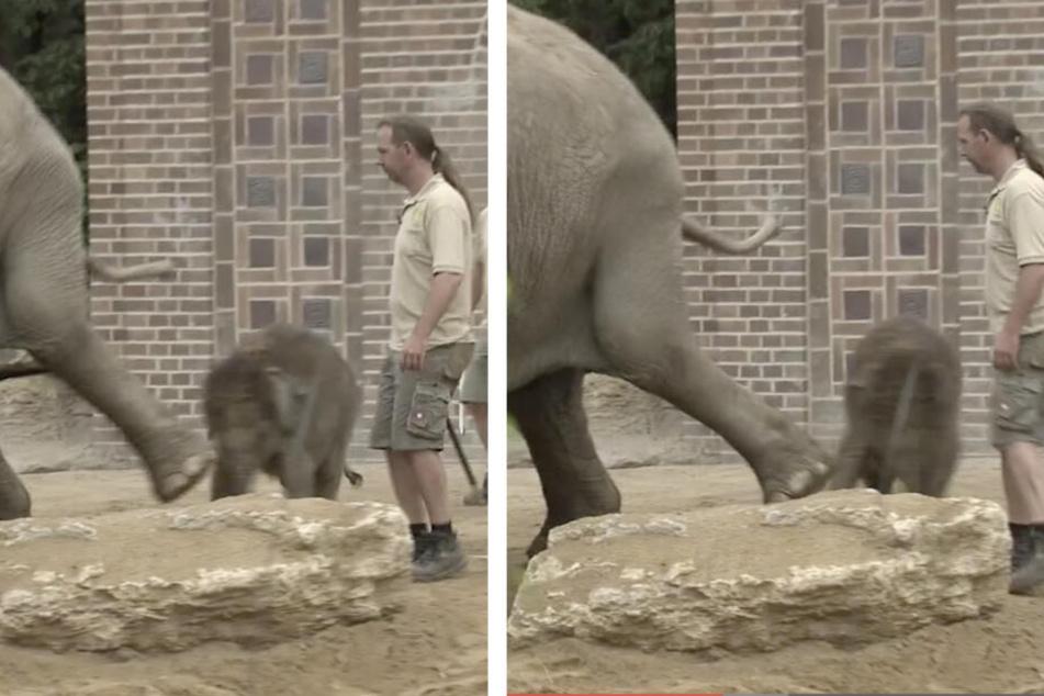 Deutlich zu sehen: Sogar mit dem Bein tritt Trinh nach dem kleinen Elefantenbullen.