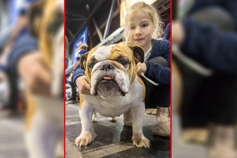 Neu und neugierig: Die englische Bulldogge Amy (3) und Frauchen Gracia (7) sind das erste Mal auf der internationalen Rassehunde-Ausstellung.