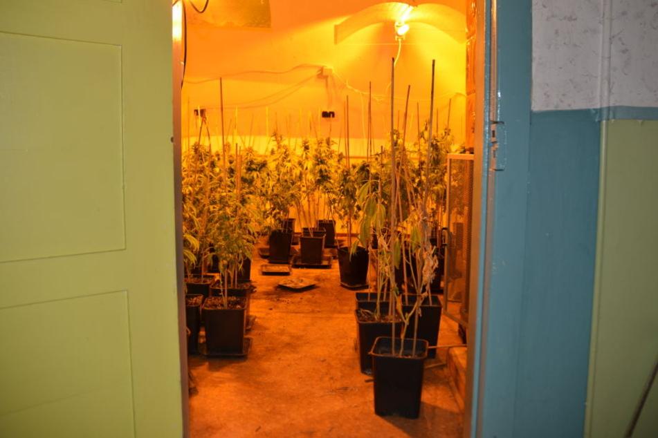 Die Pflanzen sollen auf mehrere Räume des Einfamilienhauses verteilt gewesen sein.