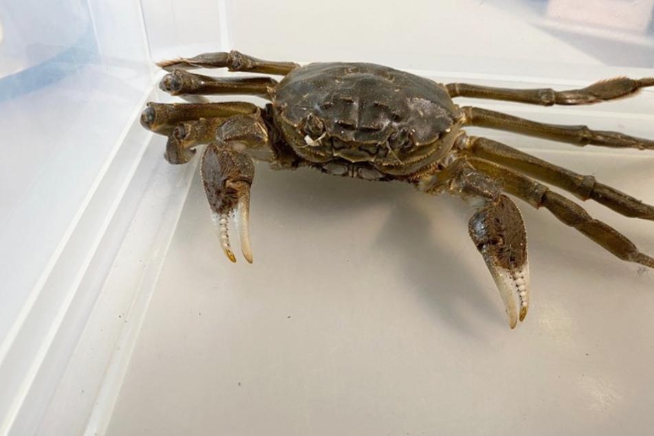 Kurioser Besucher: Krabbe ruft die Polizei auf den Plan