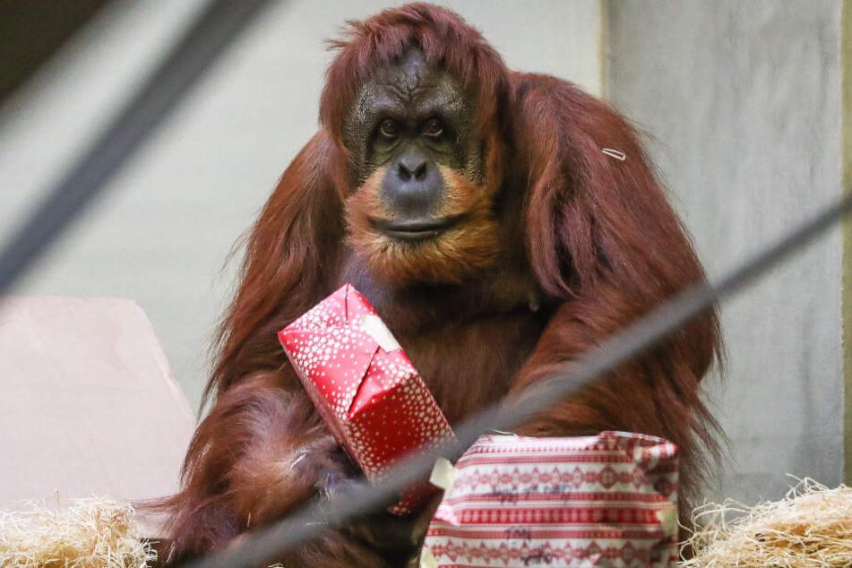 Ein Orang-Utan mit einem Geschenk.