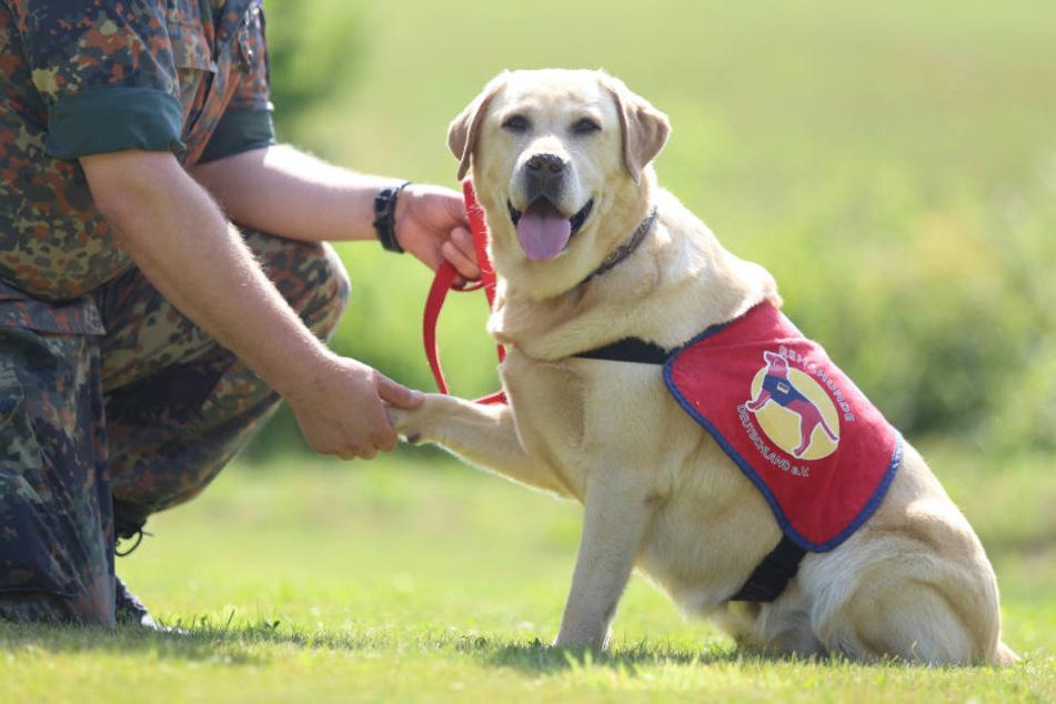 Labrador Retriever sollen bei der Bundeswehr traumatisierten Soldaten helfen. In Hamburg sind sie die beliebteste Rasse unter Hundehaltern (Archivbild).