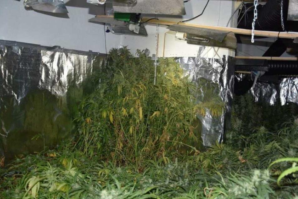Die Cannabis-Pflanzen haben einen Straßenverkaufswert von rund 660.000 Euro.