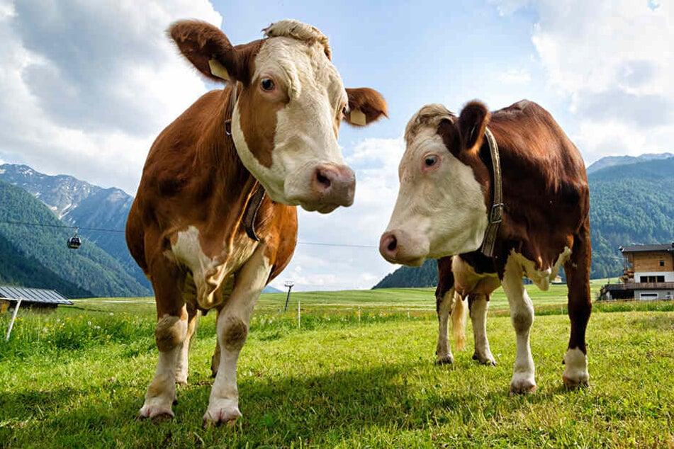 Eine Kuh hatte die Frau im Jahr 2014 zu Tode getrampelt. (Symbolbild)