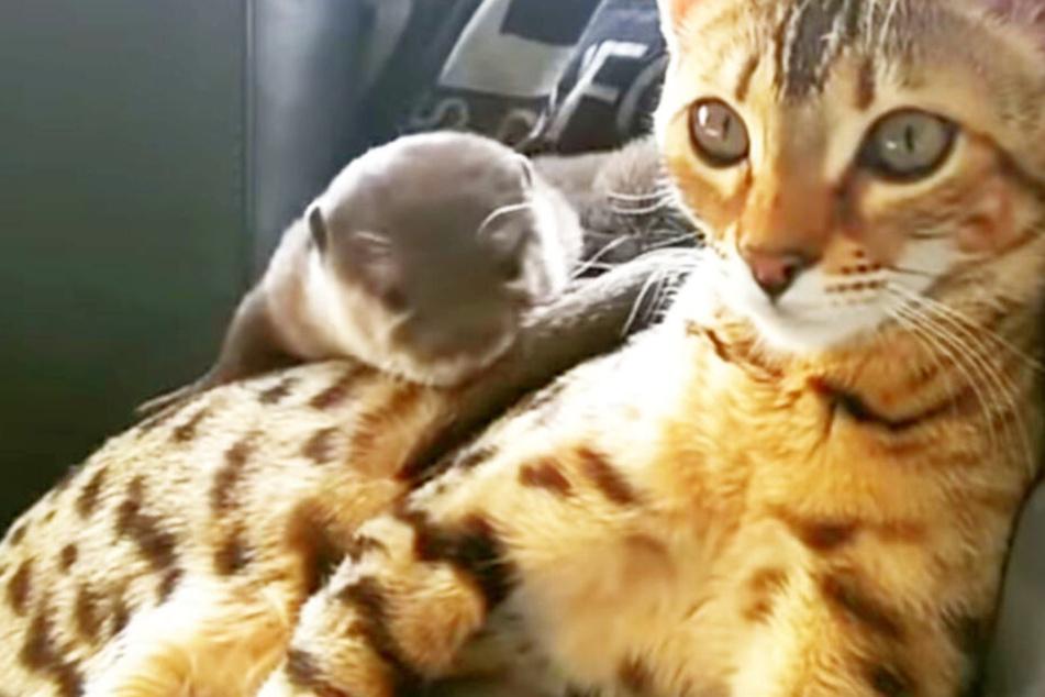"""Otter """"Pip"""" und Bengalkatze """"Sam"""" kuscheln gern."""