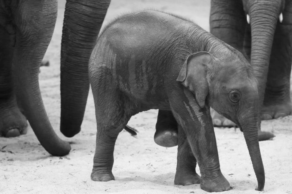Große Trauer bei Hagenbeck: Zweiter Elefant gestorben!