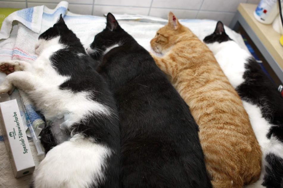 Kastrationsprojekt in Gefahr: Droht jetzt eine Katzenepidemie?