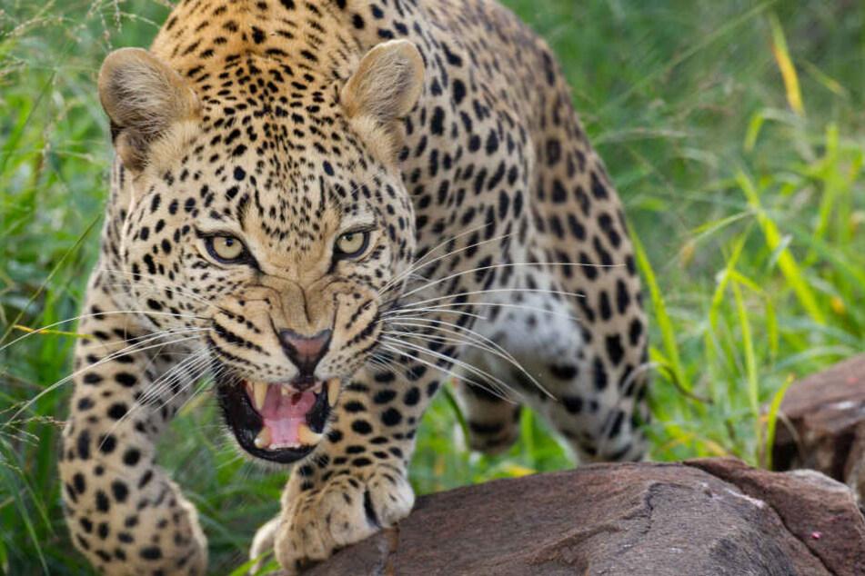Die Jagd auf den Leoparden hat begonnen. (Symbolbild)