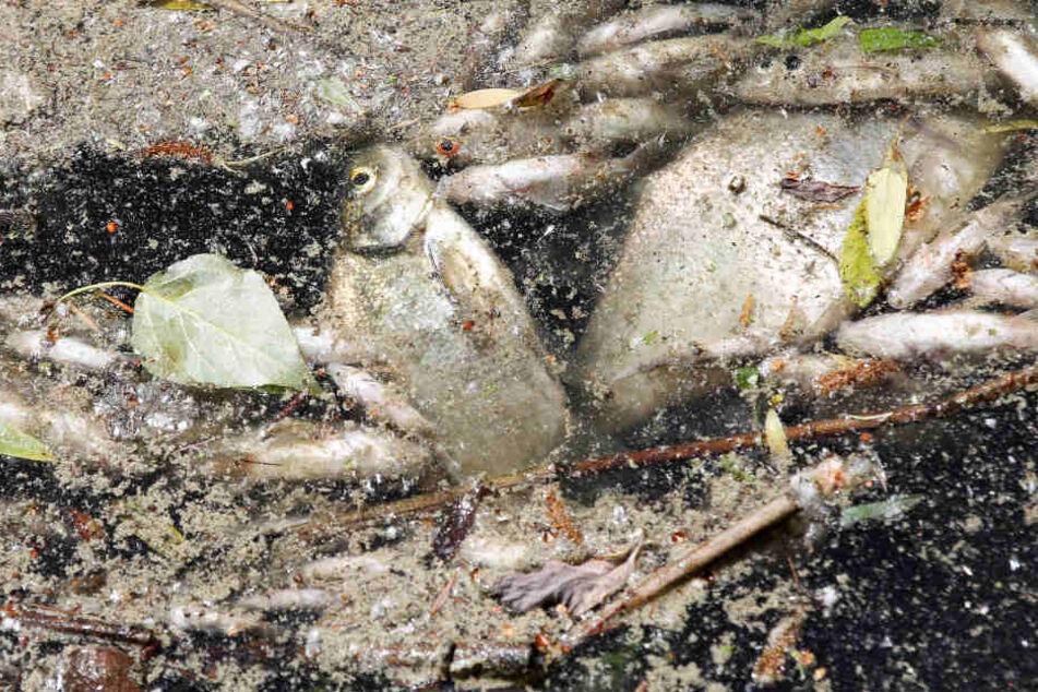 Tausende Fische sterben in Berlins Gewässern