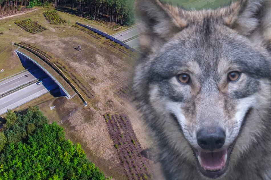 Foto-Beweis: Wolf bei Köln nutzt Grünbrücke über die A3!