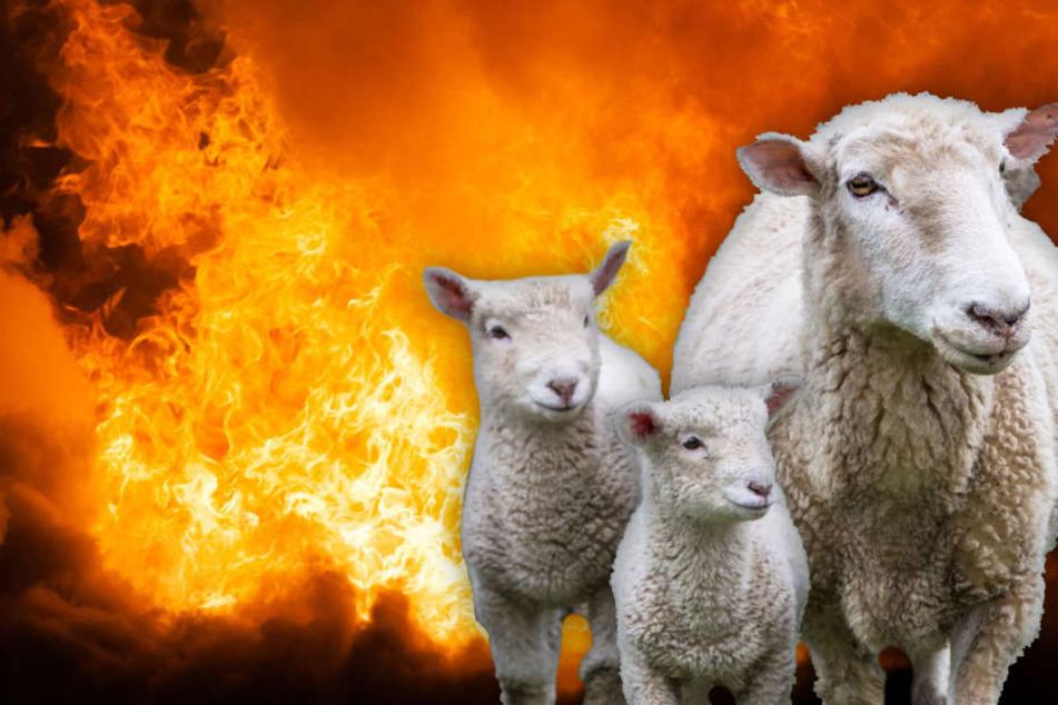 Qualvoller Flammentod: 30 Schafe sterben in Feuer-Inferno