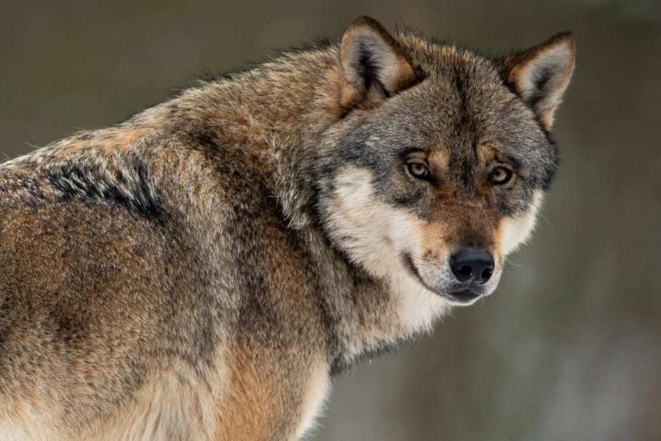 Könnte ein Wolf einen Menschen angreifen?