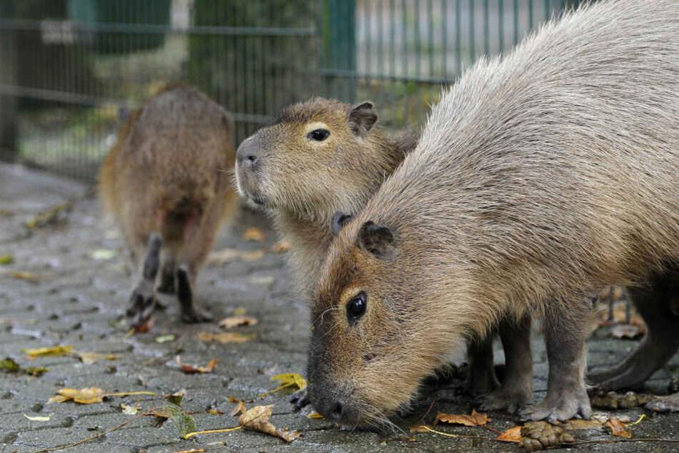 Zwei Wasserschwein-Damen sind in den Chemnitzer Tierpark gezogen, die Chemnitzer dürfen über ihre Namen mitentscheiden.
