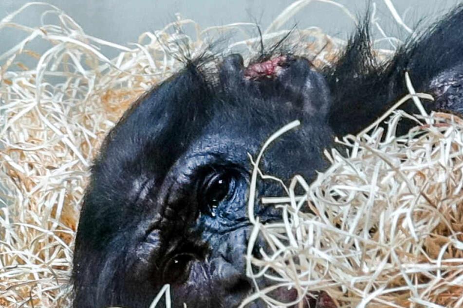Blutige Bisswunden: Bonobo Bili von Artgenossen misshandelt