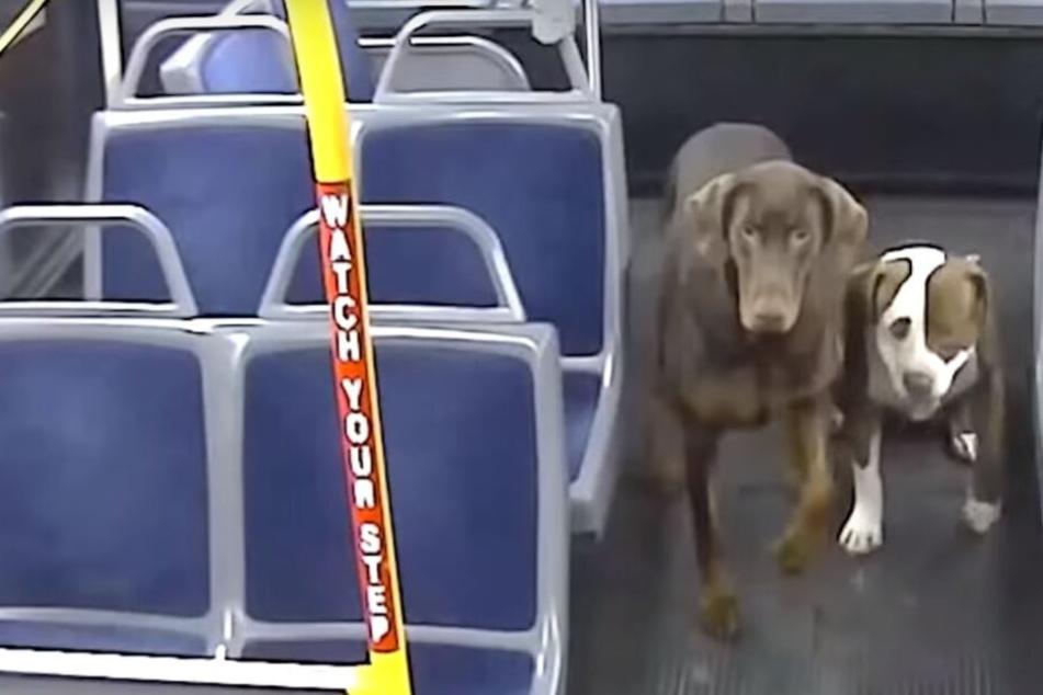 Busfahrerin sieht zwei einsame Hunde auf der Straße und trifft herzzerreißende Entscheidung
