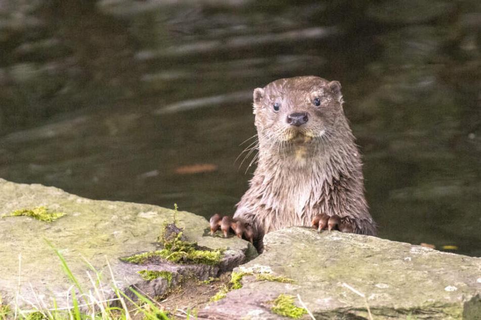 Das noch namenlose Fischotter-Weibchen lässt es sich im Kölner Zoo gut gehen.