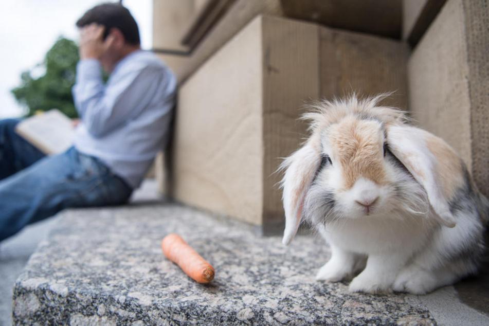 Verrückt: Dieses Kaninchen macht Ausflüge zur Oper