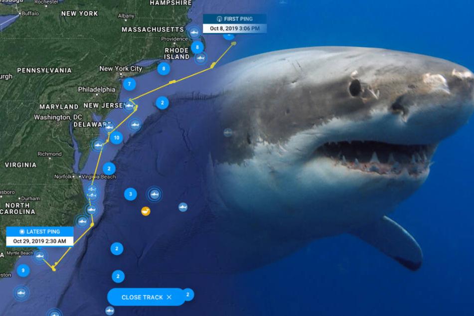 Mit dieser App kann man Weiße Haie im Meer verfolgen!