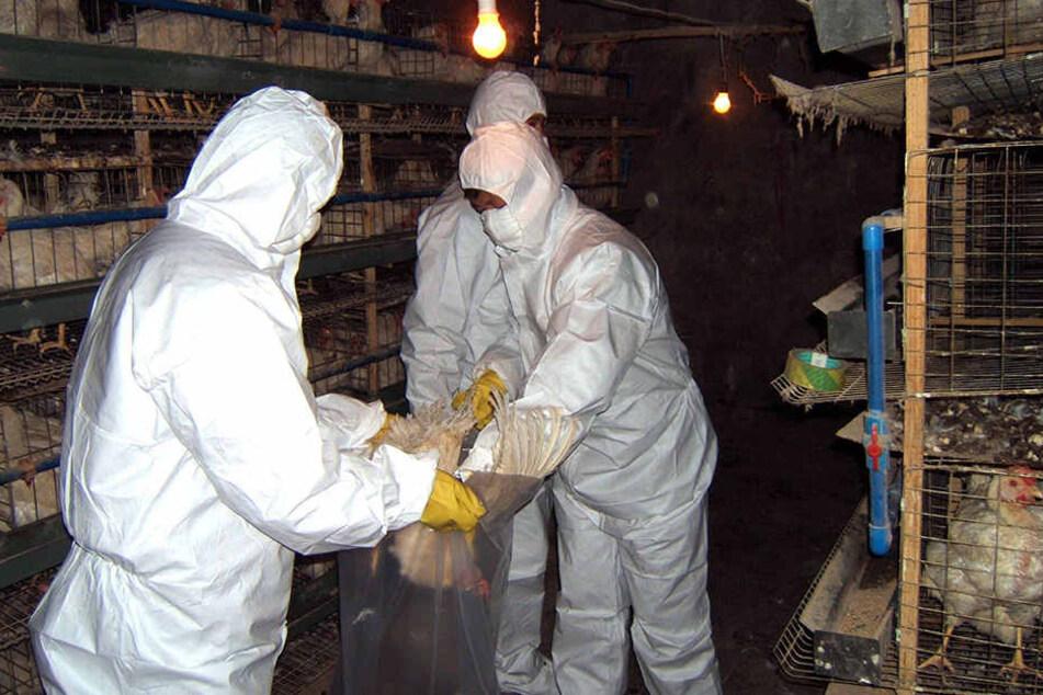 Die Vogelgrippe breitet sich in Sachsen immer weiter aus. Für die Geflügelbetriebe stellt das eine Riesengefahr dar.