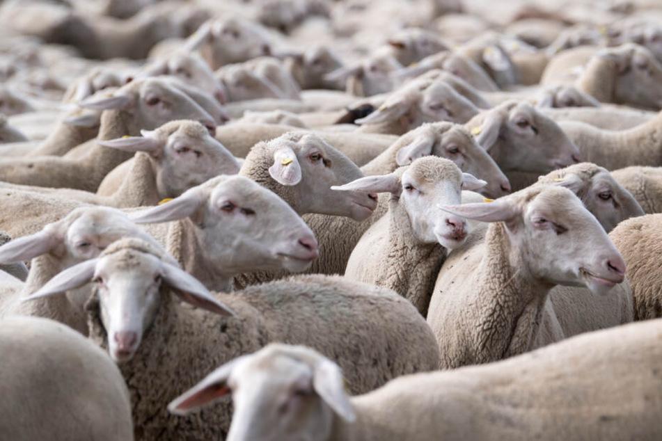 Hunderte Schafe brechen aus Koppel aus, Autofahrer kann nicht ausweichen