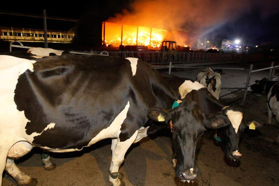 Halle-MUH-ja! Rund 300 Kühe konnten gerettet werden.