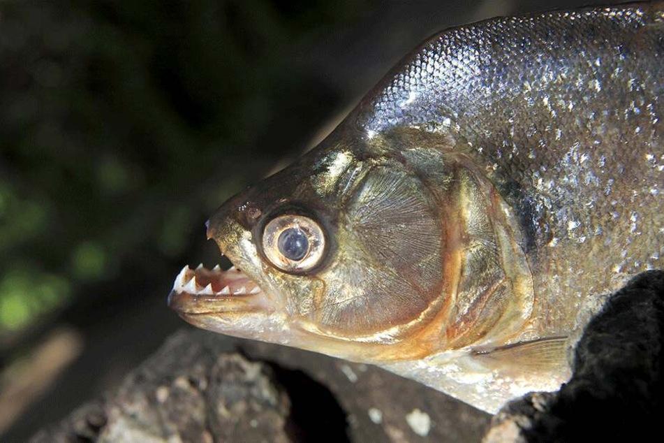 Der General, der in das Piranha-Aquarium geworfen wurde, soll angeblich einen Putsch geplant haben.
