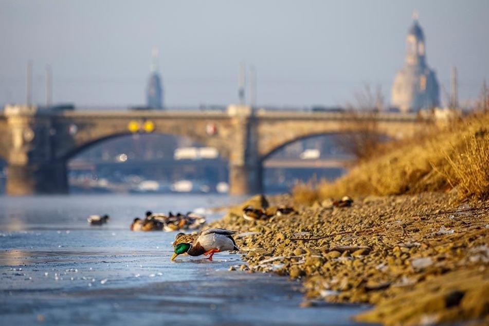 Am Neustädter Elbufer rücken die Enten zusammen. Am Ufer bilden sich erste Eisschollen.
