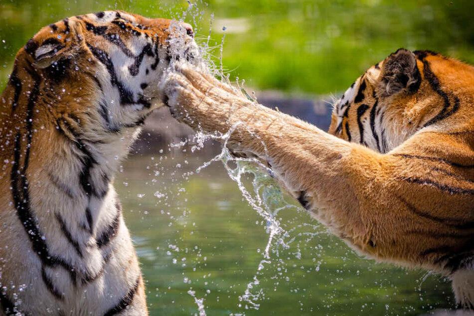 Zwei Bengalische Tiger griffen am Wochenende die Aktivistin Patty Perry an. (Symbolbild)