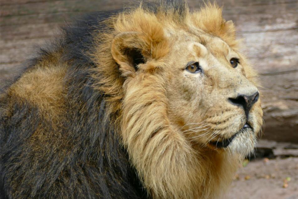 """""""Ethisches Dilemma"""": Zoo überlegt Löwen zu töten, wenn er unfruchtbar ist!"""