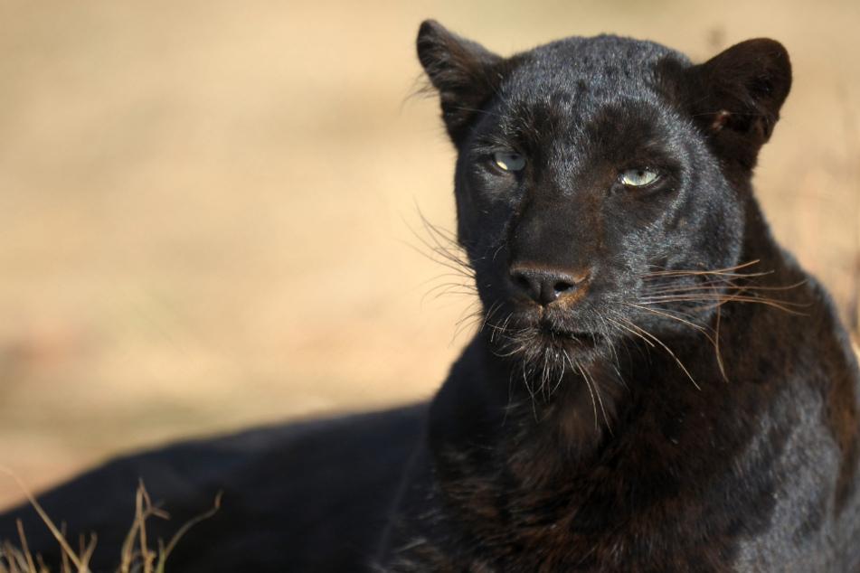 Gemeinde in Aufregung: Treibt in Oberbayern ein schwarzer Panther sein Unwesen?