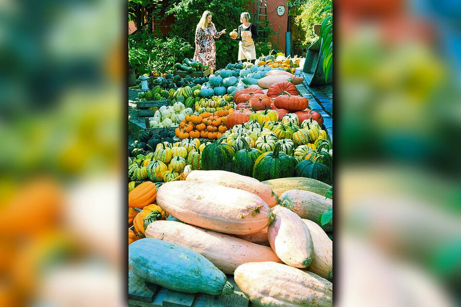 Im Kürbisdomizil von Zwethau gibt es etwa 100 verschiedene Sorten des Herbstgewächses zu erwerben.