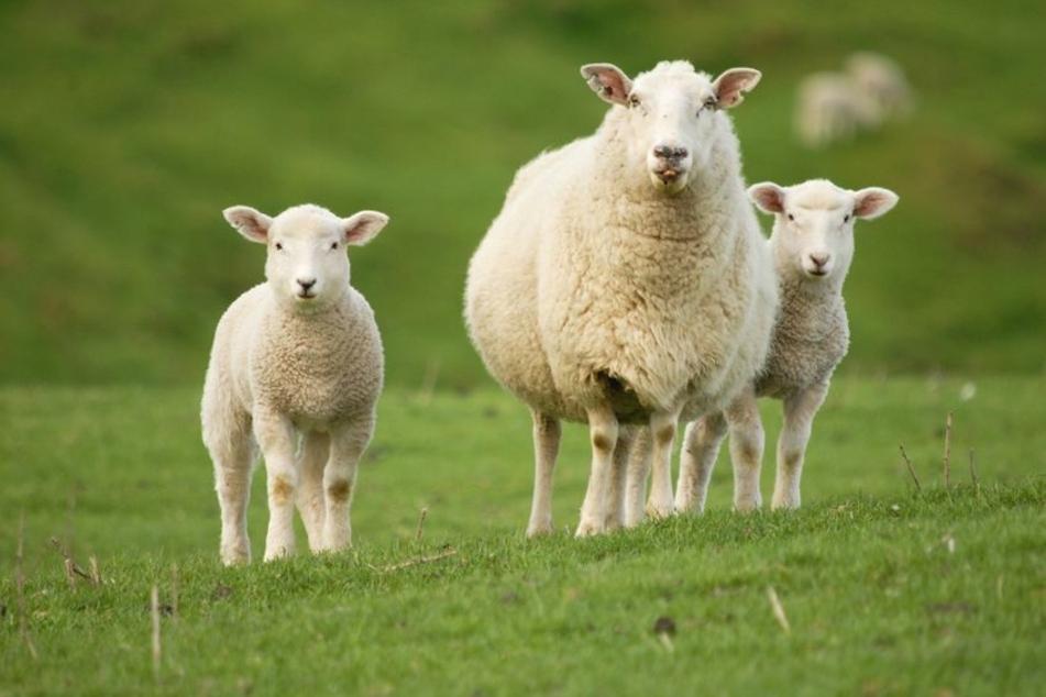 Auf einer Weide in Kleindembach hat ein Rottweiler mehrere Schafe gerissen. (Symbolbild)