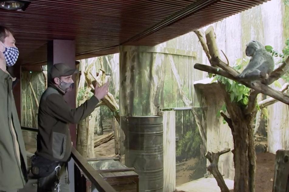 """Elefant, Tiger & Co."": Koala-Mama Mandie ist umgezogen!"