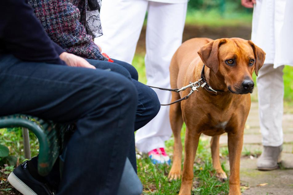Bini, eine dreijährige Rhodesian Ridgeback Hündin, kommt an der Kleintierklinik der Münchner Ludwig-Maximilians-Universität (LMU) mit ihren Besitzern zu einer Spezialsprechstunde für adipöse Hunde und Katzen.