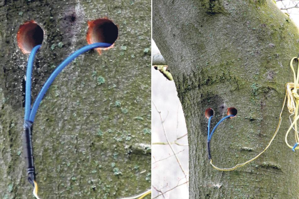 So wurden die Bäume für die Sprengung vorbereitet.