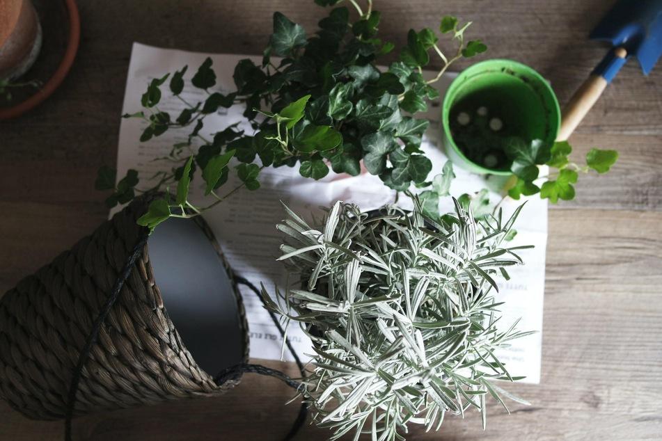 Beherzigt man ein paar Tipps, wird die Pflanze gar nicht erst von Schimmel befallen.