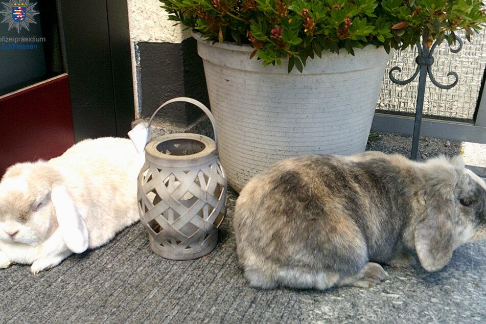"""Familie vermisst """"Ratz"""" und """"Rübe"""": süße Kaninchen aus Garten geklaut"""