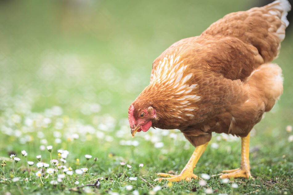 Der Brite Rehan Baig (37) soll drei Hühner vergewaltigt haben. (Symbolbild)