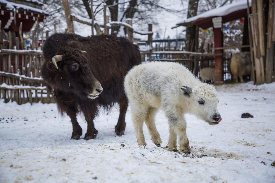 Im Schnee muss man das seltene Yak-Kalb suchen.