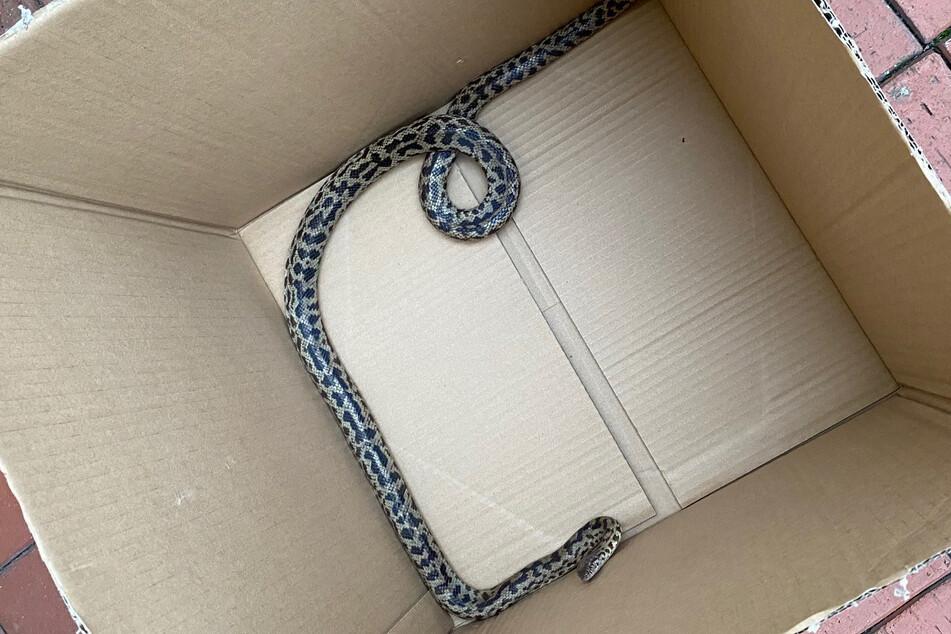 Der Polizei gelang es, das Tier vorsichtig in einen Pappkarton zu bugsieren.