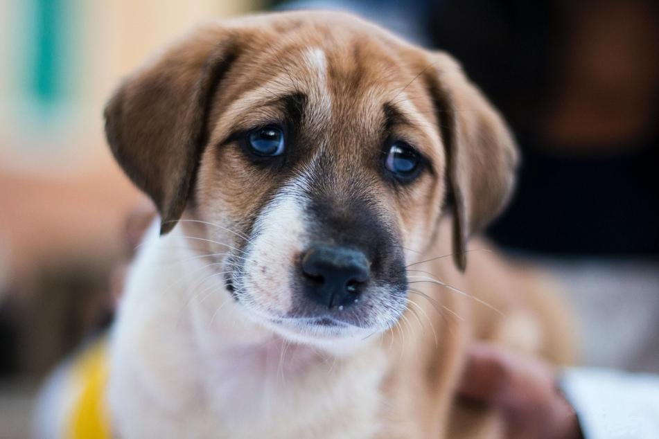 Können Hunde ein schlechtes Gewissen haben?
