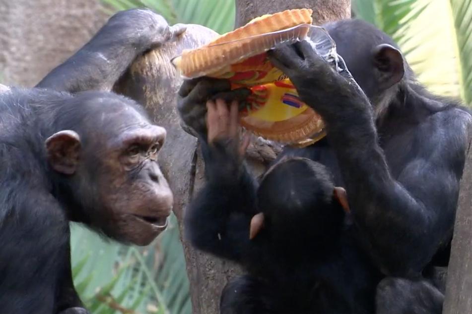 Die Affen stürzen sich regelrecht auf die leckere Überraschung.