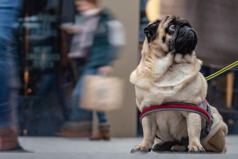 Das große Wuff-Duell: Stadthund gegen Landhund