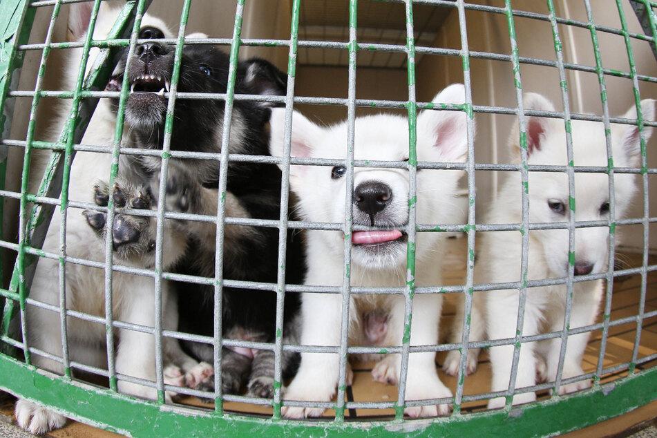Mann verkauft Hundewelpen im Internet, wenig später sind sie tot: Drei Jahre Haft