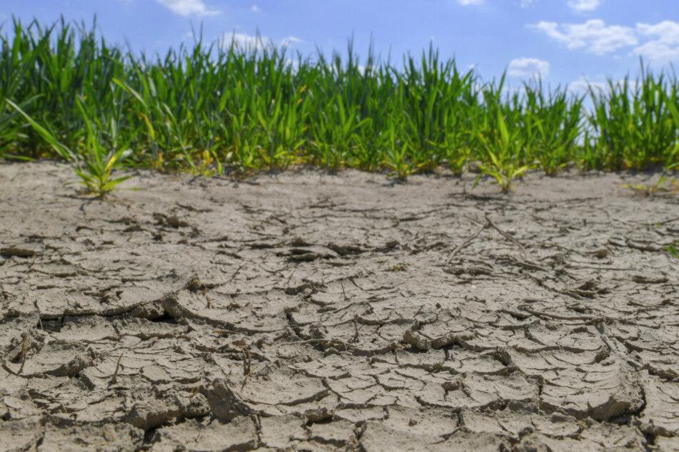 Spröde: Nicht nur Flussufer, auch Ackerböden sind ausgetrocknet und zeigen tiefe Risse.