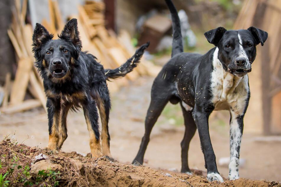 Vier Hunde fallen auf Straße über Dreijährige her und zerfleischen sie zu Tode
