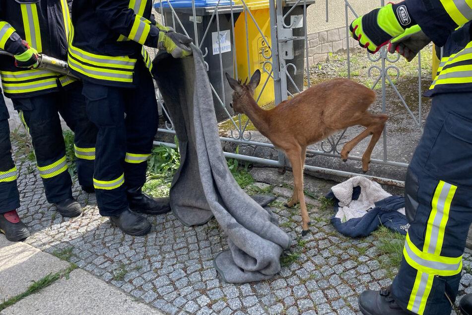 Endlich in Freiheit: Der Rehbock stieg vorsichtig aus dem Zaun und lief dann über die Bergstraße davon.