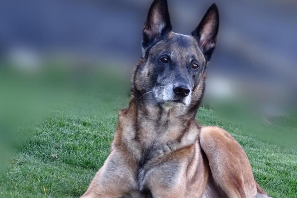 """Er bellte für Ordnung: Polizeihund """"Ivo"""" geht in Ruhestand"""