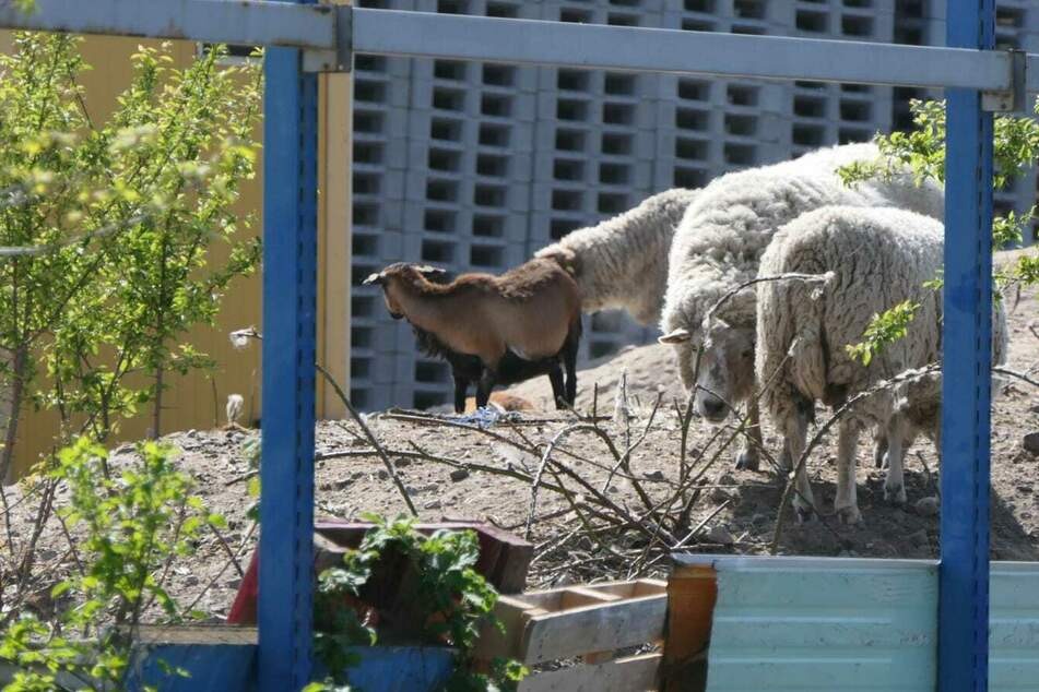 Auf dem Gelände der Firma fand die Polizei eine Schafherde mit 50 Tieren.