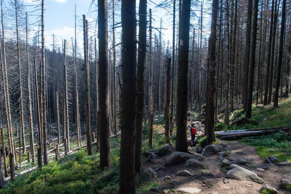 Zahlreiche abgestorbene Fichten reihen sich unter anderem im Harz aneinander. Schuld daran sind irreparable Borkenkäfer-Schäden.